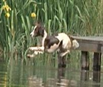 Springer Spaniel Training